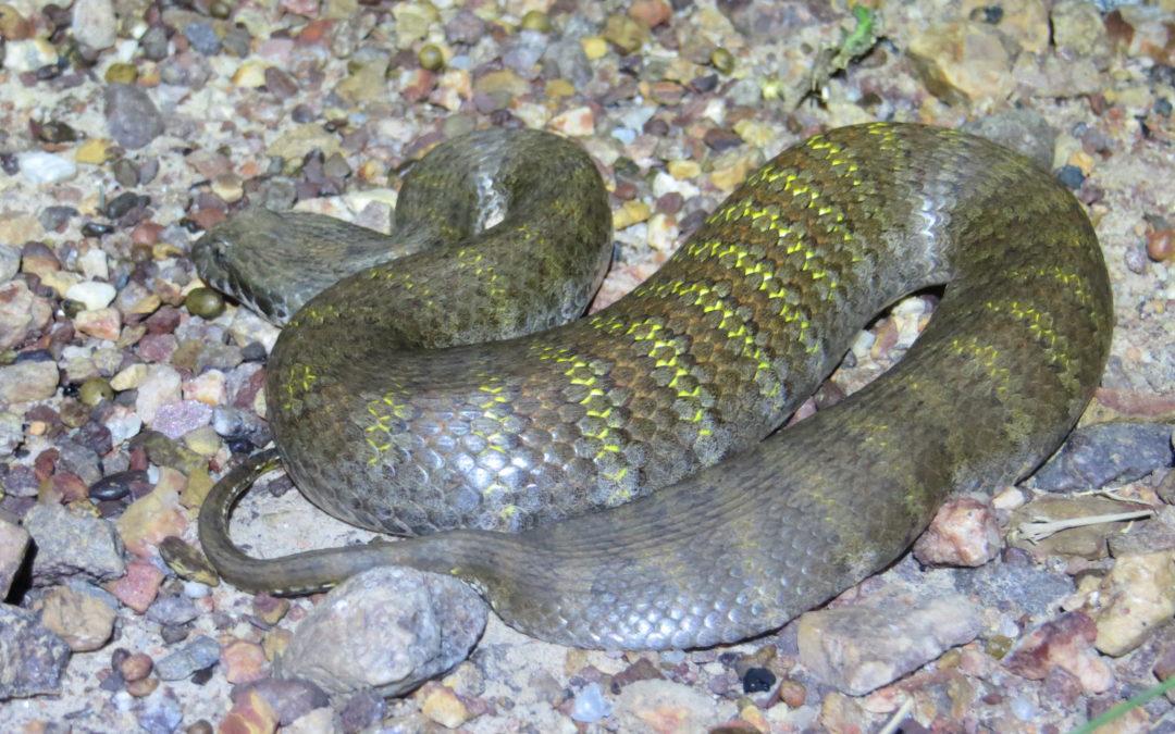 Snake bite, snake bite first aid