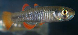 endangered animals australia, Red Finned Blue Eye Fish