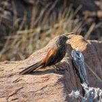Black Grass Wren, Kimberely, Western Australia