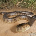 Black Headed Python – Broome
