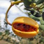 BUSH TUCKER 3, BUSH PASSIONFRUIT,