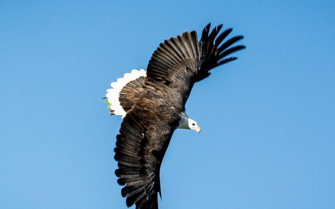 Wedge Tailed Eagles and a White Bellied Sea Eagle ,Western Australia