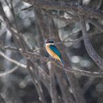 Collard Kingfisher, Kingfisher Islands, Western Australia