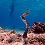 Scott and Seringapatam Reef , sea snakes